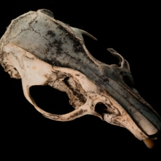 HOLDENMCINTOSH-2019-RatSkull-1